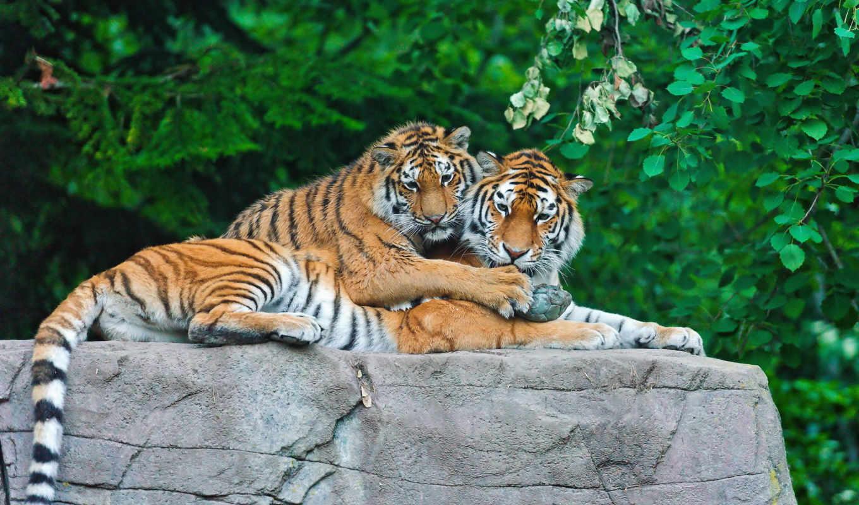 tigers, тигр, детёныш, семья, камень, коллекция,