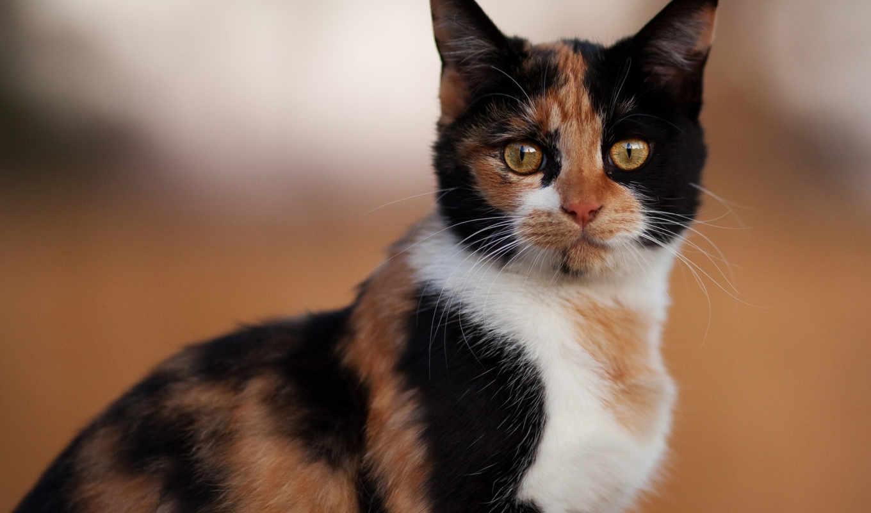 кот, ус, трехцветная, лапы, взгляд, fone, размытом, уши, разных, кошки,