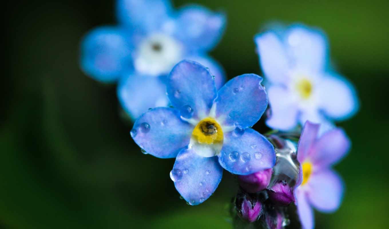 макро, цветок, капли, голубая, незабудка, роса,