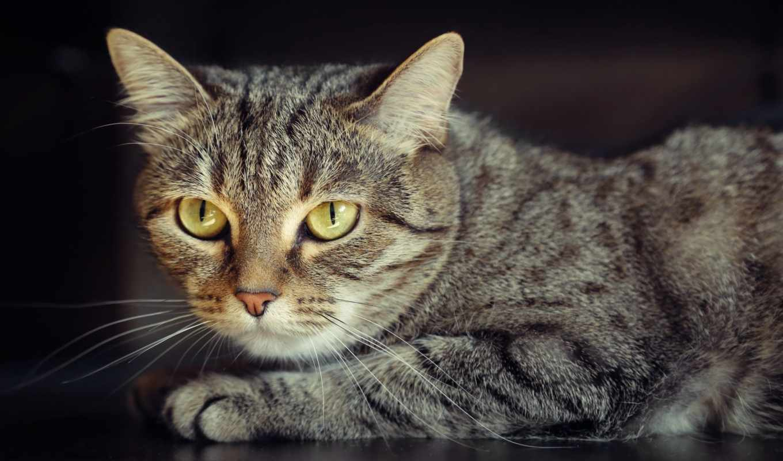 black, кот, взгляд,