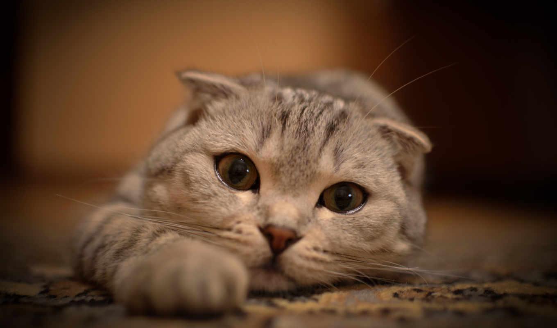 лежит, кот, глаза, взгляд, усы, вытянулась,