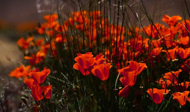 цветы, красные, маки, бутоны, лепестки,