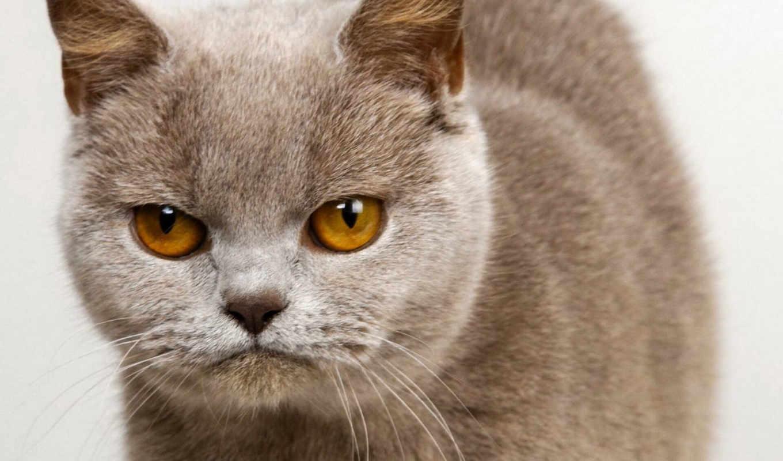 кот, кошки, british, британская, плюшевый, котенок, короткошёрстная,