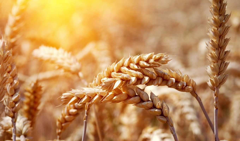 пшеницы, колосья, поле, урожай, powerpoint, шаблоны, пшеница, prezentacii,