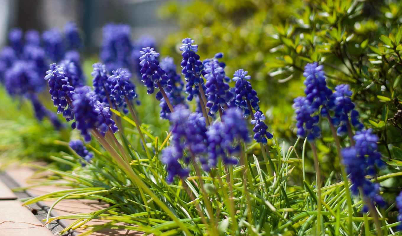 мускари, cvety, синие, maintenance,
