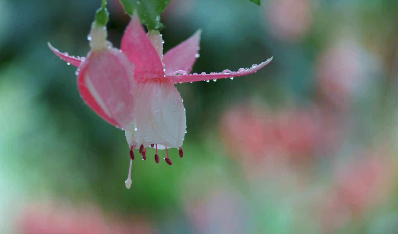 росы, капли, макро, цветы, роса, розовые, бутон, фуксия,