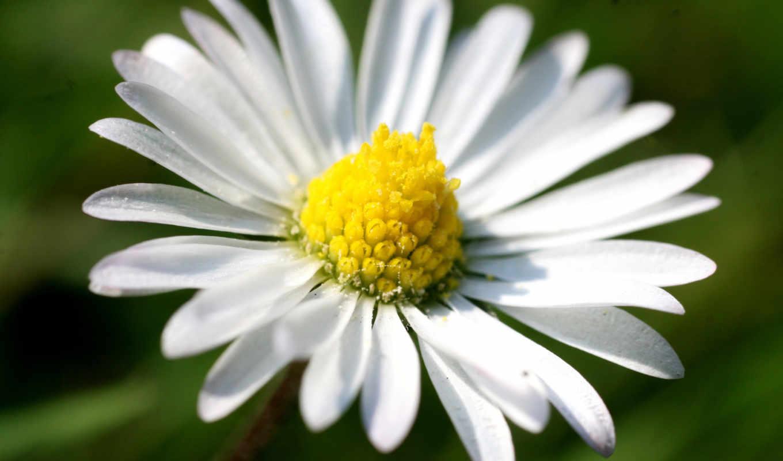 ромашка, лепестки, макро, цветы, категория, совершенно, white, зелёный, yellow, графика,