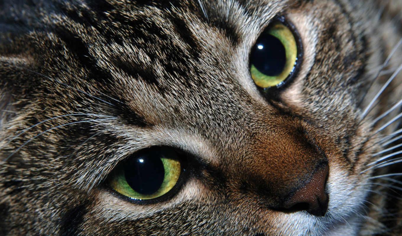 кот, глаза, зелёный, голова