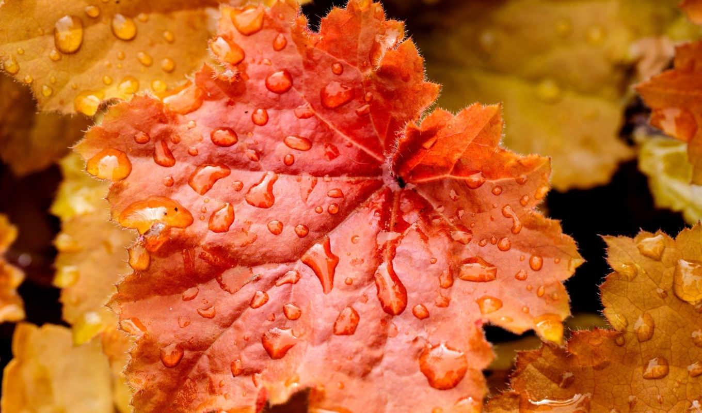 осень, листья, оранжевый, растения, капли,