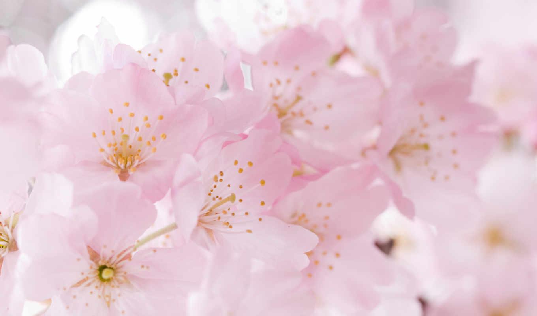 нежность, цветы, весна, Сакура, цветение, cherry,
