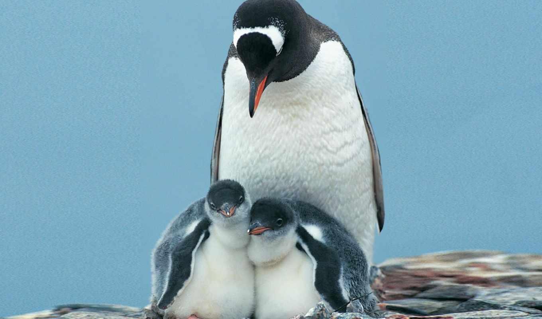 emperor, пингвин, blue, desktop, нояб,