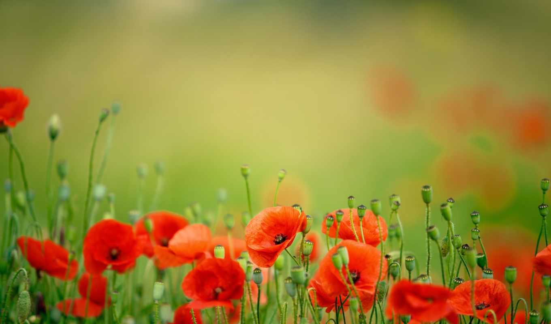 маки, цветы, лепестки, весна,