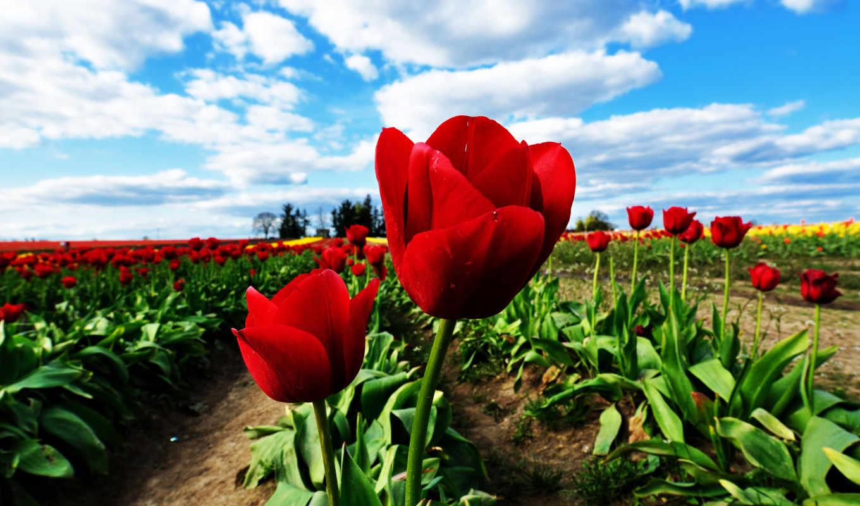 цветы, тюльпаны, небо, поля, облака, природа, истинном, размере, смотреть, white, red, обою,