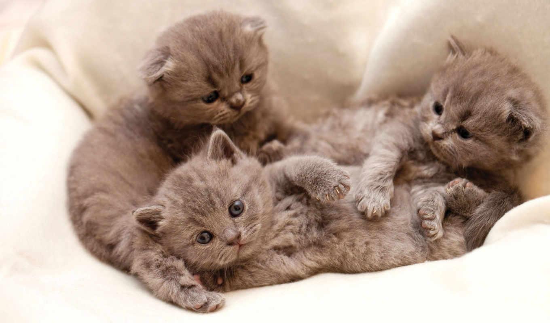 кошки, серые, browse, кот,