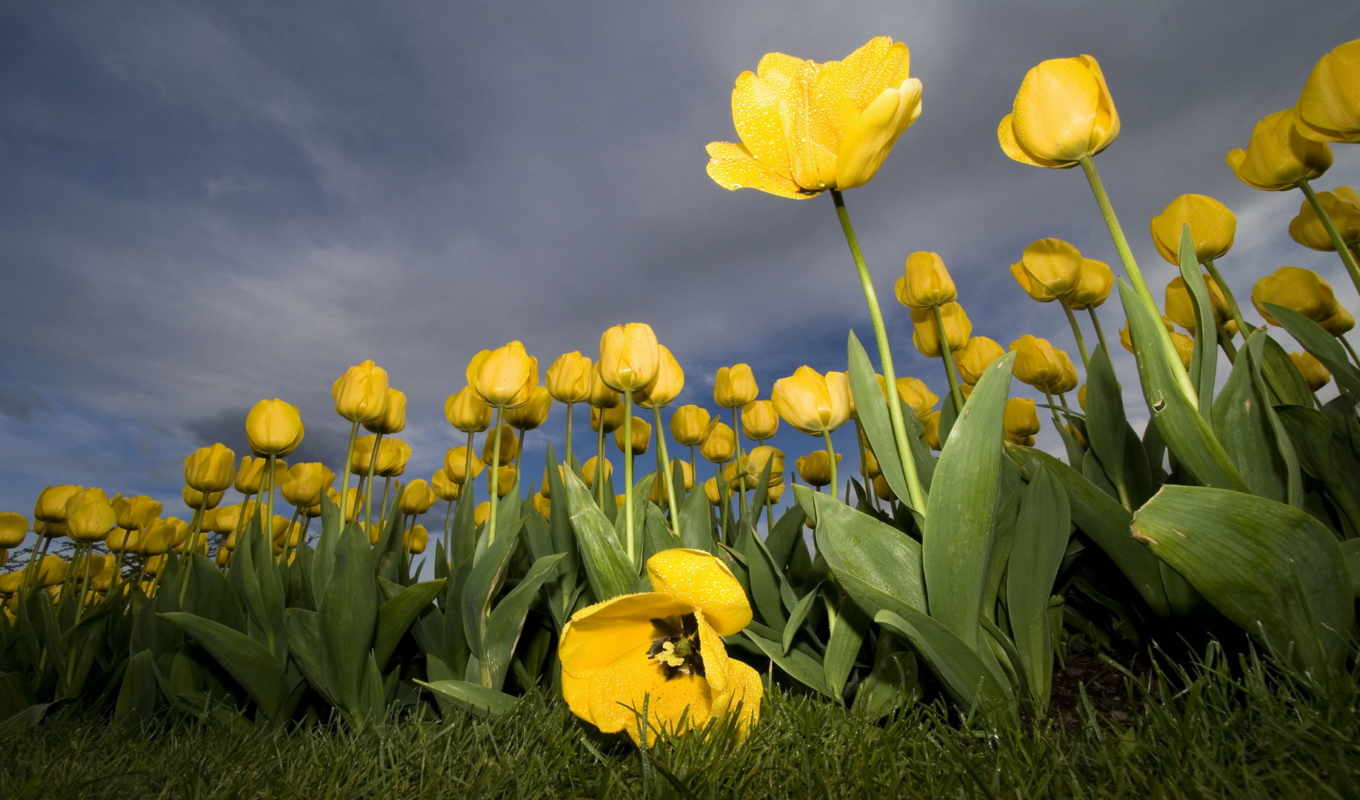 wallpaper, tulips, yellow, тюльпаны, flowers, wallpapers, желтые, widescreen, güzel, filter, resimleri, desktop, nature, photography, tablet, hotwalls,