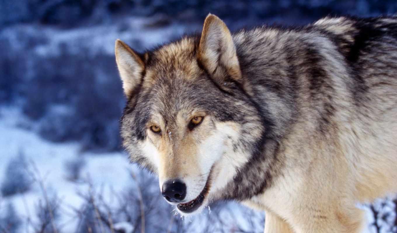 волк, ordinary, серый,