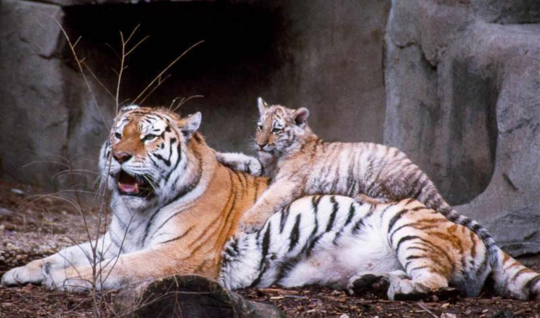 близко, тигр, тигры, детёныш, small, zhivotnye, лежат, большом, скалы,