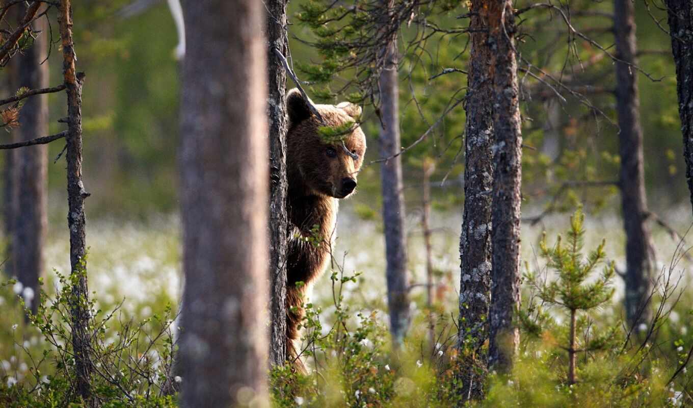 лес, fore, peep, hardwood, ноутбук, браун, взгляд, морда, дерево