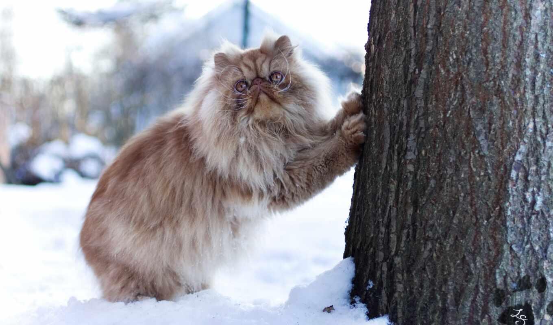 кот, сиамский, british, длинношерстный, gato, браун, gatto, брюн, пушистый, cute