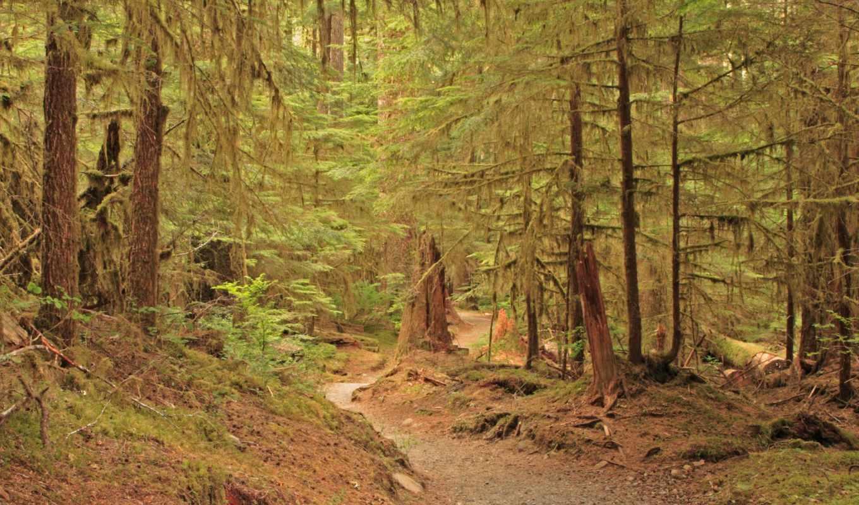 обои, лес, forest, фото, старый, сосновый, wallpap