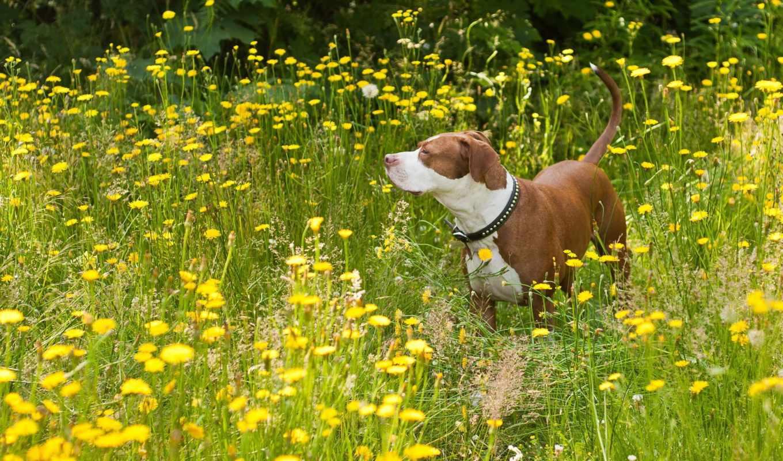 kwiaty, żółte, widescreen, high, resolutions, quality, dogs, desktop, dog, pies, łąka,
