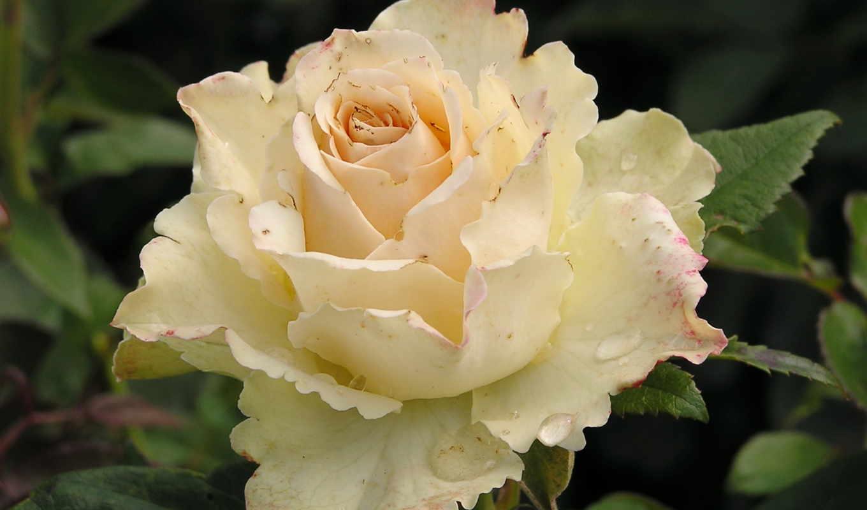 розы, цветы, white, vanilla, our,