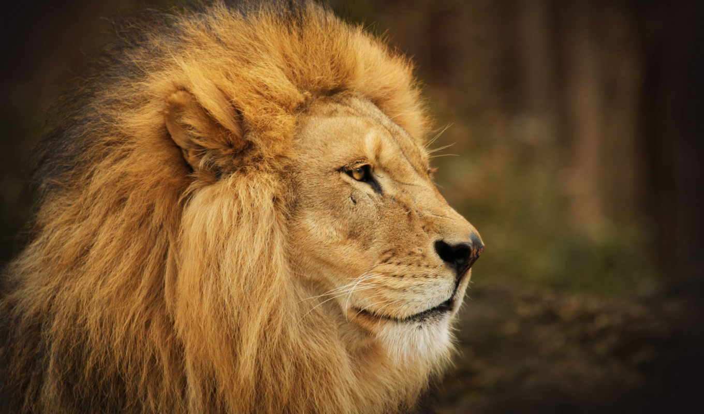 львы, lion, львица, морда, пара, взгляд, грива,