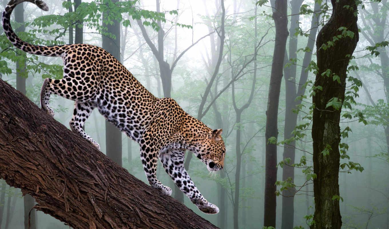 леопард, животные, дерево, взгляд, картинка,