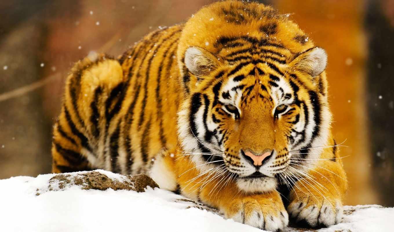 спокойствие, тигр,