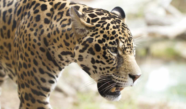 jaguar, леопард, xkr, фон,