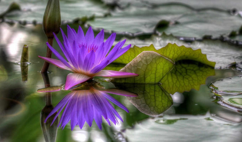 вода, цветок, hdr, распустился, lily, purple, flowers, кнопкой, ben, правой, seni,