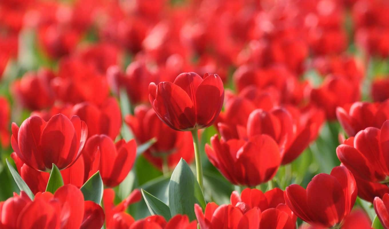 тюльпаны, цветы,