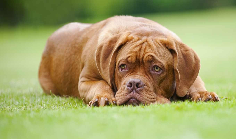 собака, бордоский, газон, dogue,
