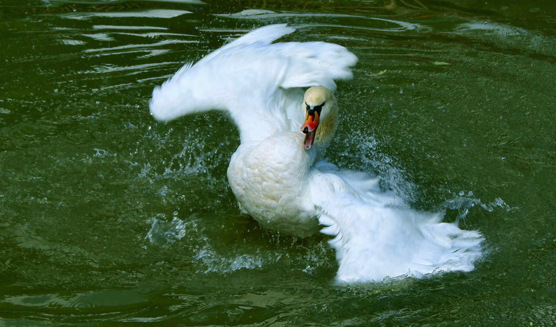 лебедь, воде, лебеди, птицы, картинку, крыльями, танцует, zhivotnye,