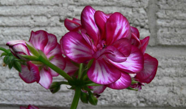 растение, makryi, цветы, лепесток, тематика