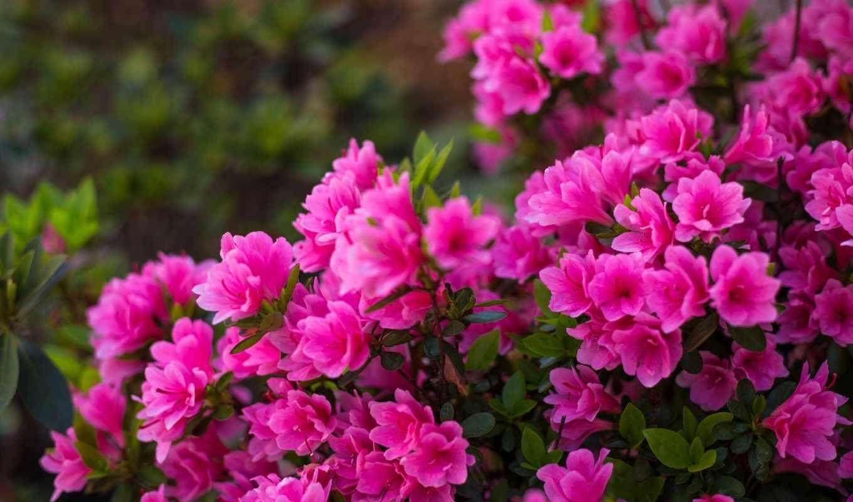 цветы, комментарий, азалия, bush, цветение, розовый,