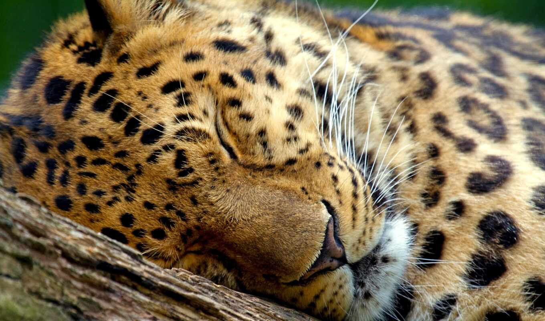 леопард, sleeping, marwell, zoo, свет, морда,