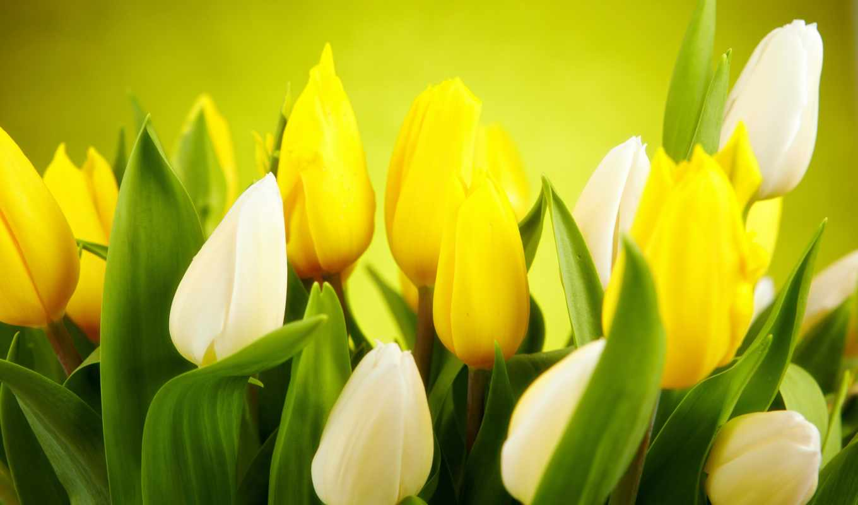 тюльпаны, белые, цветы, желтые, весна, бутоны,