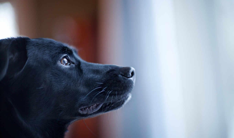 собака, черная, морда, смотрит, макро, axtar, zhivotnye,