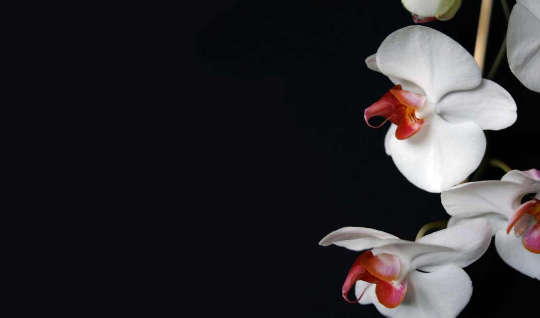 орхидеи, цветы, орхидея, разрешениях, разных,