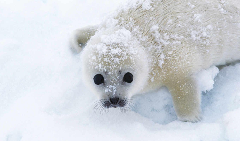 снег, песец, зверек,