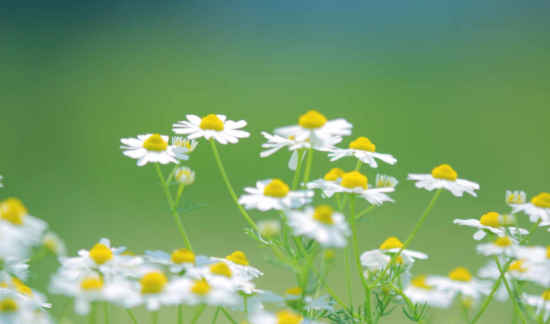 ромашки, цветы, белые, трава, зелёный,