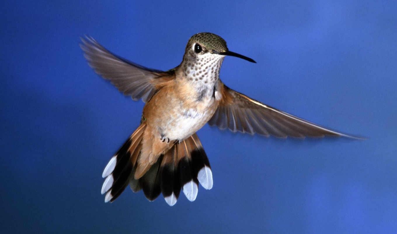 колибри, птицы, птичка, маленькая,