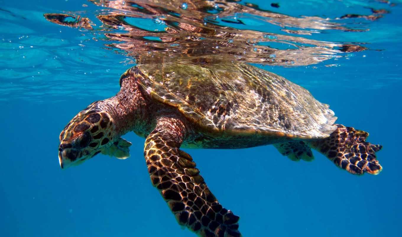 animal, clear, blue, черепаха, water, swimming,