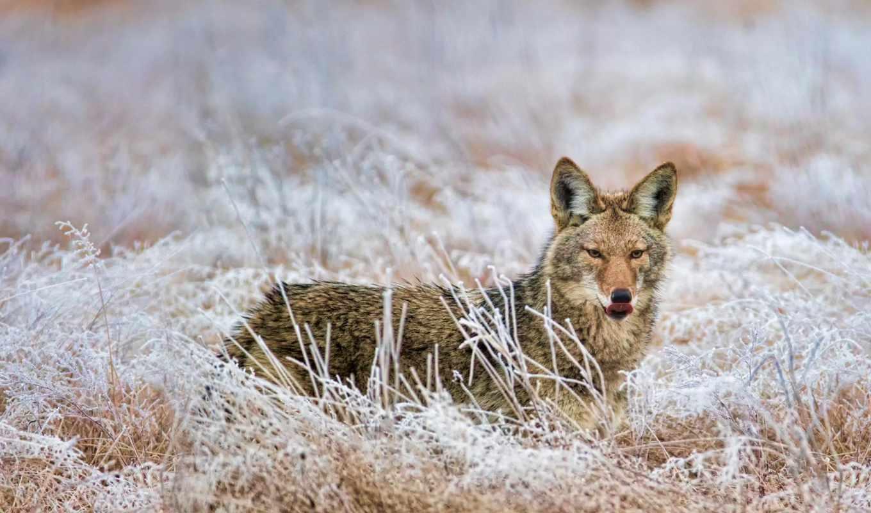 coyote, redmond, marymoor, washington, park,