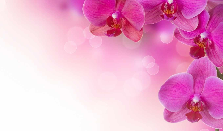 цветы, орхидеи, flowers, pink, розовые, растения, орхидея, desktop, background, экзотика, wallpapersv, растение, просмотреть, eeyore, easter,