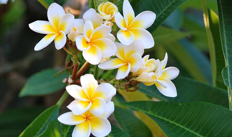 плюмерия, цветы, белый, руб, роза, желтый,