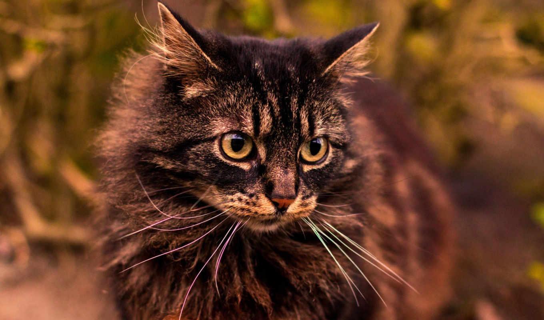 cat, взгляд, gray,