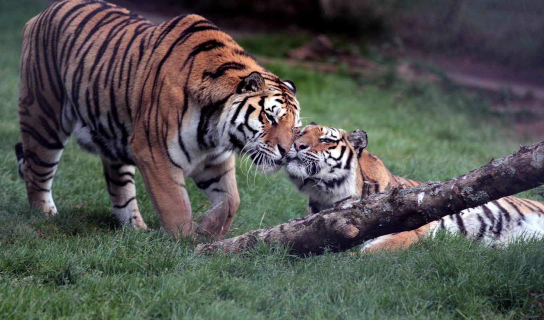 тигры, shwary, тигр, семья, animals, яndex,