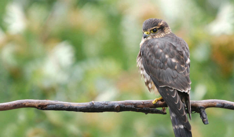 buzzard, wallpaper, birds, animals, wild, desktop,